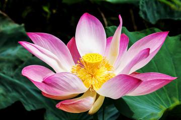 Water liry Lotus