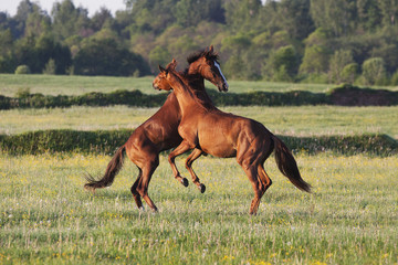 Horses frolic in a field