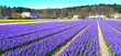 Flowers field in Holland - Stock Image