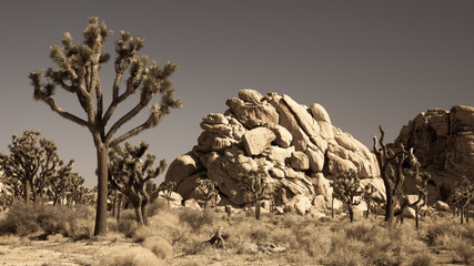 Joshua Tree National Park in Antique LIght
