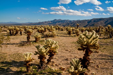 Jumping Cholla Cacti in the Mojave Desert