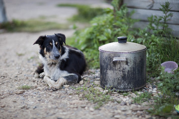 Border Collie guarding a pot