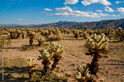 Leinwandbild Motiv Jumping Cholla Cacti in the Mojave Desert