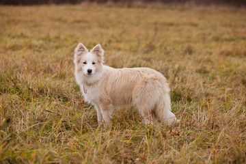 Boder Collie walking in a field