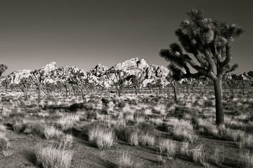 Joshua Tree National Park in Black and White