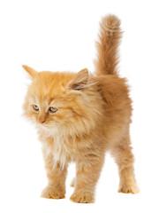 little orange cat