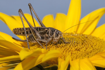 Locusts on sunflower
