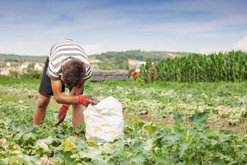 Erntearbeiter füllt sack