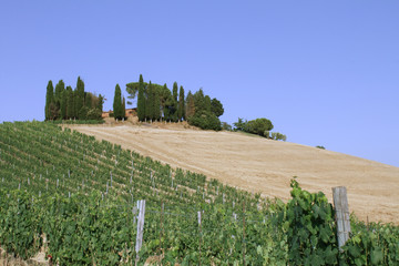 Paesaggio toscano con vigna e cipressi