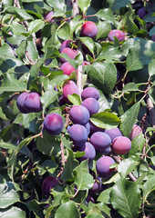 Plenty of ripening plums on a background branches and foliage