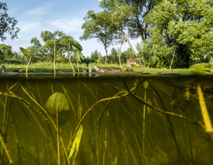 Duck swims in the Lake View under water on the algae and the wat