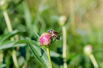 big beetle sits quietly on peony bud crawls