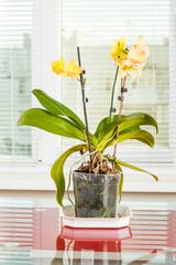 Yellow orchid. Pot flower in transparent flowerpot