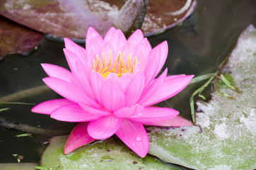 beautiful pink lotus in the pond on cloudy day
