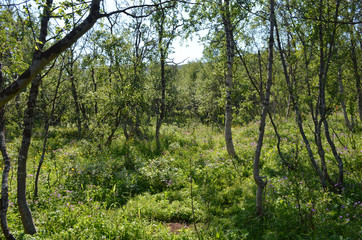 Subartic birch forest