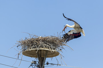 white storks in the nest on the elektrical pole blue sky (Ciconi