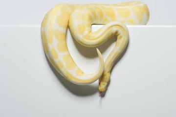 Albinopython schlängelt sich herab