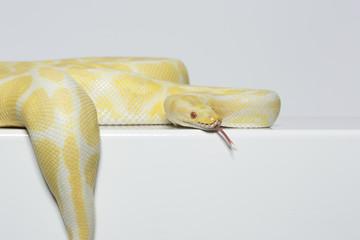 Albino Schlange, Königspython