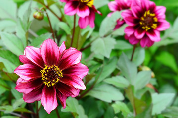 purple and yellow dahlia flower