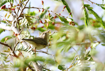 Beautiful Willow Warbler