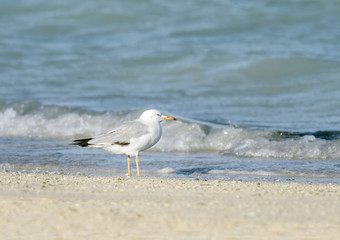 Beautiful white headed seagull near the sea