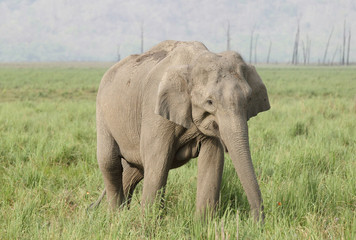 Closeup of Asiatic elephant