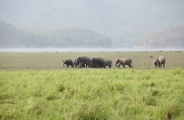 Herd of Asiatic elephant moving in Dhikala grassland