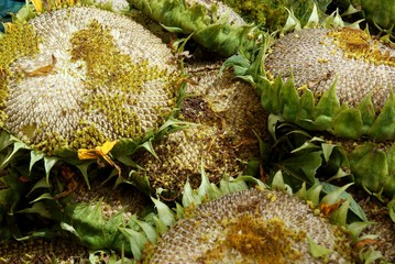 ripe inflowerescences of sunflowers with edible seeds