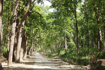 Beautiful dense forest along the dirt road of Jim Corbett
