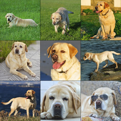 Collage Nice Labrador Retriever outdoor life