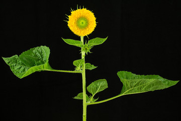 Sunflower plant with flower and leaves