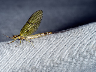 Female Ephemera danica subimago - Mayfly