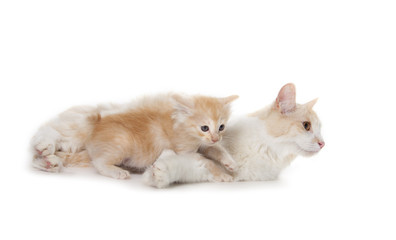 cute adult cat with little kitten