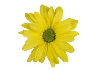 yellow isolated daisy