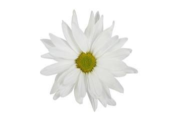 White Isolated Daisy