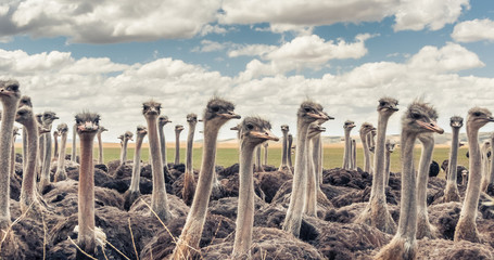 Herd of Ostriches