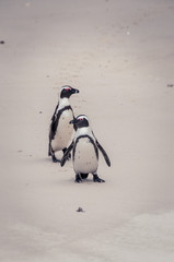 Jackass Penguin couple
