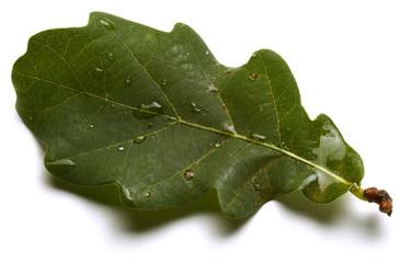 Quercus سنديان Quercia Eichen Oak Chêne Carvalho Дуб