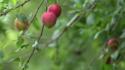 Plum fruit tree on a windy day