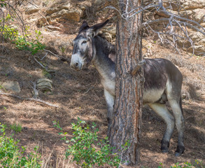 Funny smiling donkey hiding behind tree