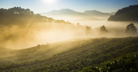 Doi Angkhang strawberry field with fog on morning winter season.