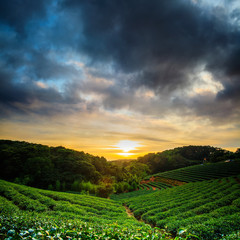 Tea garden sunset
