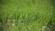 young grass thrill under strong wind