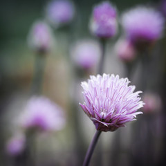 Chives flowering