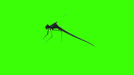 dragonfly flying at green screen chroma key