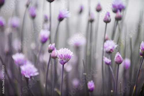 Fotobehang Bloemen Flowering chives