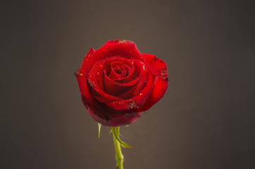 Single red rose on dark  background