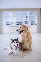 Siberian Husky and Golden Retriever Dog