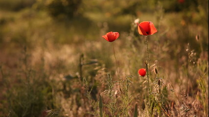 the poppy flowers in the meadow