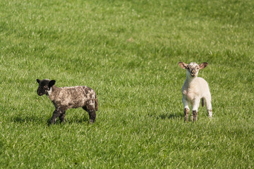 two spotted lambs on grass